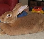 Flemish giant rabbit breed